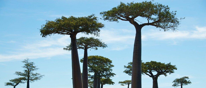 Slide 4 baobab